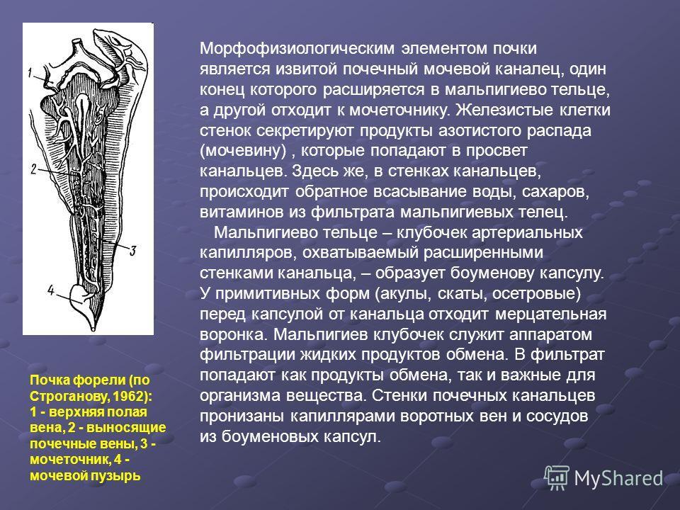 Почка форели (по Строганову, 1962): 1 - верхняя полая вена, 2 - выносящие почечные вены, 3 - мочеточник, 4 - мочевой пузырь Морфофизиологическим элементом почки является извитой почечный мочевой каналец, один конец которого расширяется в мальпигиево