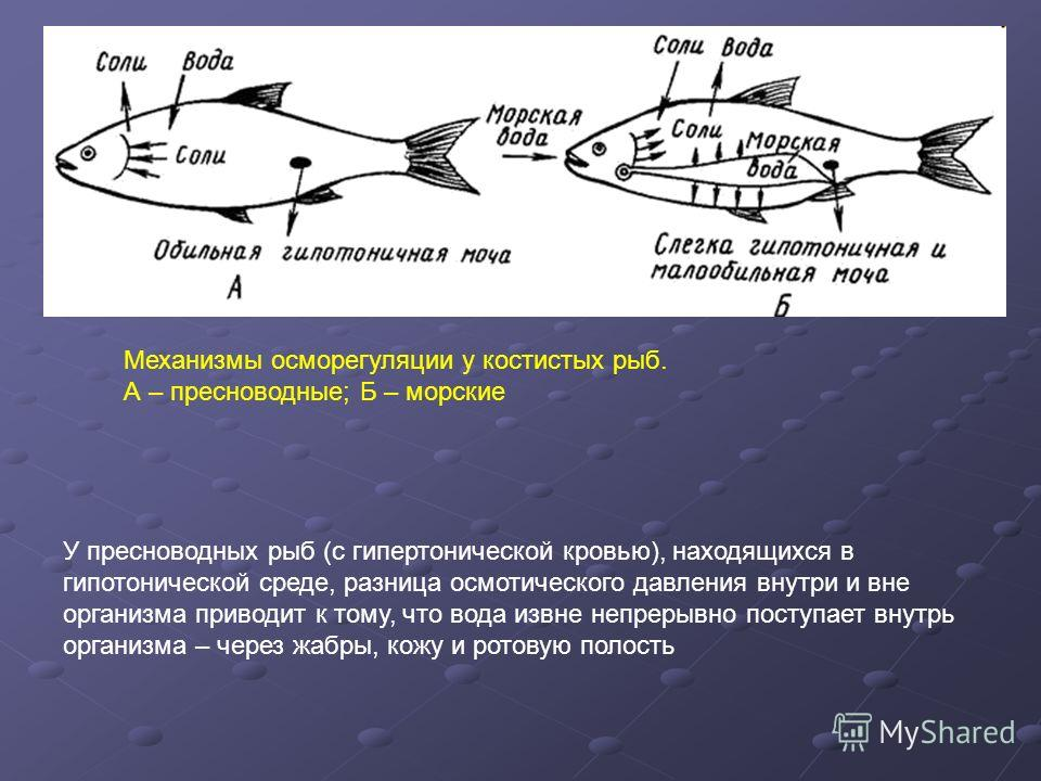 У пресноводных рыб (с гипертонической кровью), находящихся в гипотонической среде, разница осмотического давления внутри и вне организма приводит к тому, что вода извне непрерывно поступает внутрь организма – через жабры, кожу и ротовую полость Механ