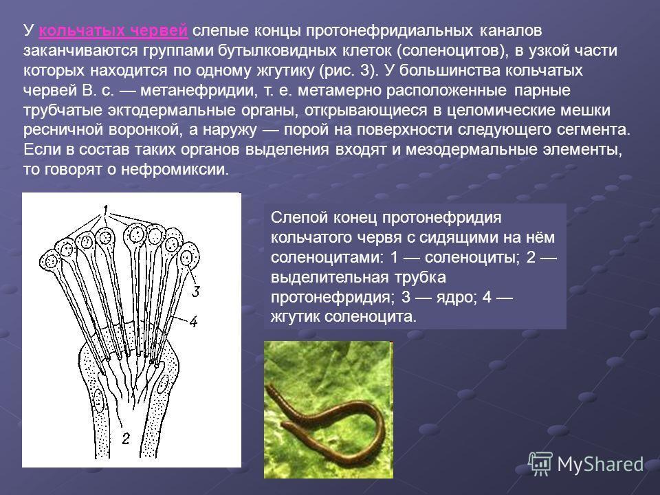 У кольчатых червей слепые концы протонефридиальных каналов заканчиваются группами бутылковидных клеток (соленоцитов), в узкой части которых находится по одному жгутику (рис. 3). У большинства кольчатых червей В. с. метанефридии, т. е. метамерно распо