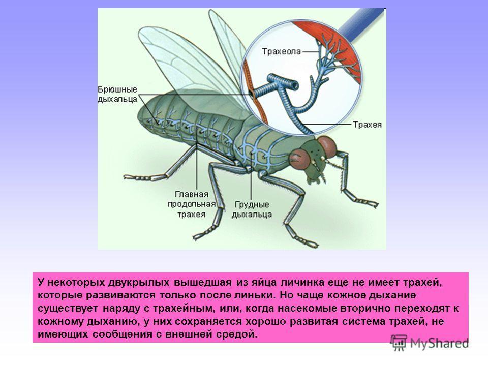 У некоторых двукрылых вышедшая из яйца личинка еще не имеет трахей, которые развиваются только после линьки. Но чаще кожное дыхание существует наряду с трахейным, или, когда насекомые вторично переходят к кожному дыханию, у них сохраняется хорошо раз
