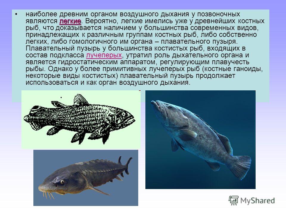 легкиенаиболее древним органом воздушного дыхания у позвоночных являются легкие. Вероятно, легкие имелись уже у древнейших костных рыб, что доказывается наличием у большинства современных видов, принадлежащих к различным группам костных рыб, либо соб