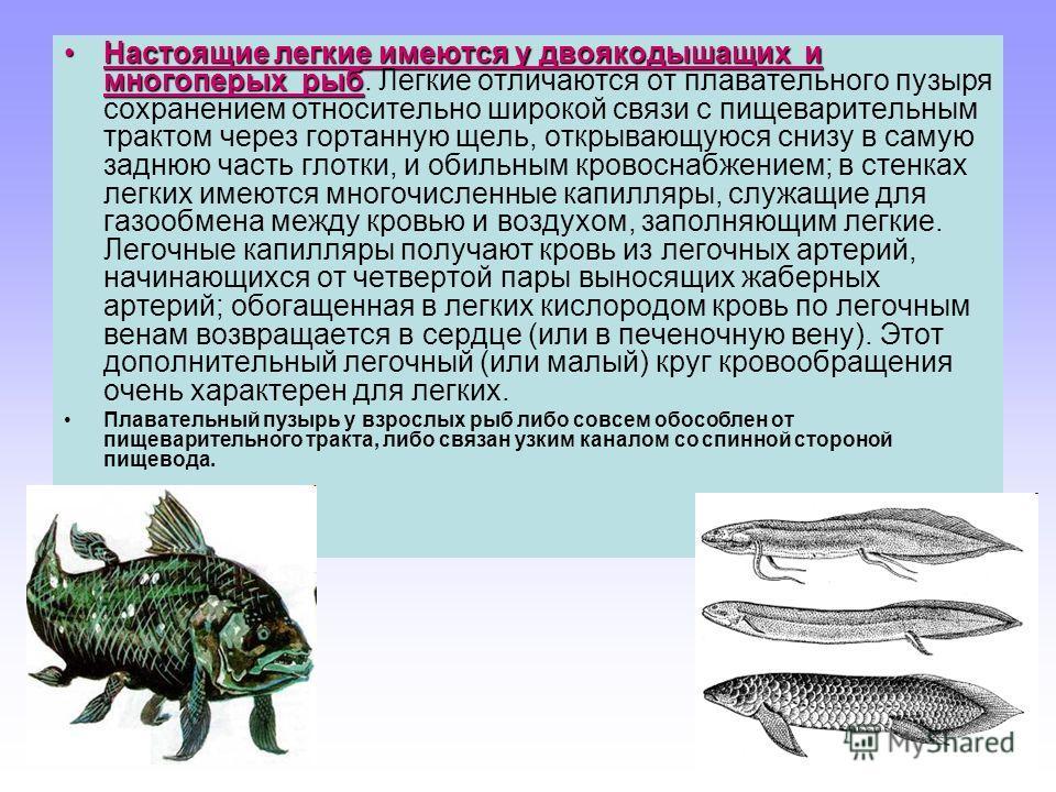 Настоящие легкие имеются у двоякодышащих и многоперых рыбНастоящие легкие имеются у двоякодышащих и многоперых рыб. Легкие отличаются от плавательного пузыря сохранением относительно широкой связи с пищеварительным трактом через гортанную щель, откры