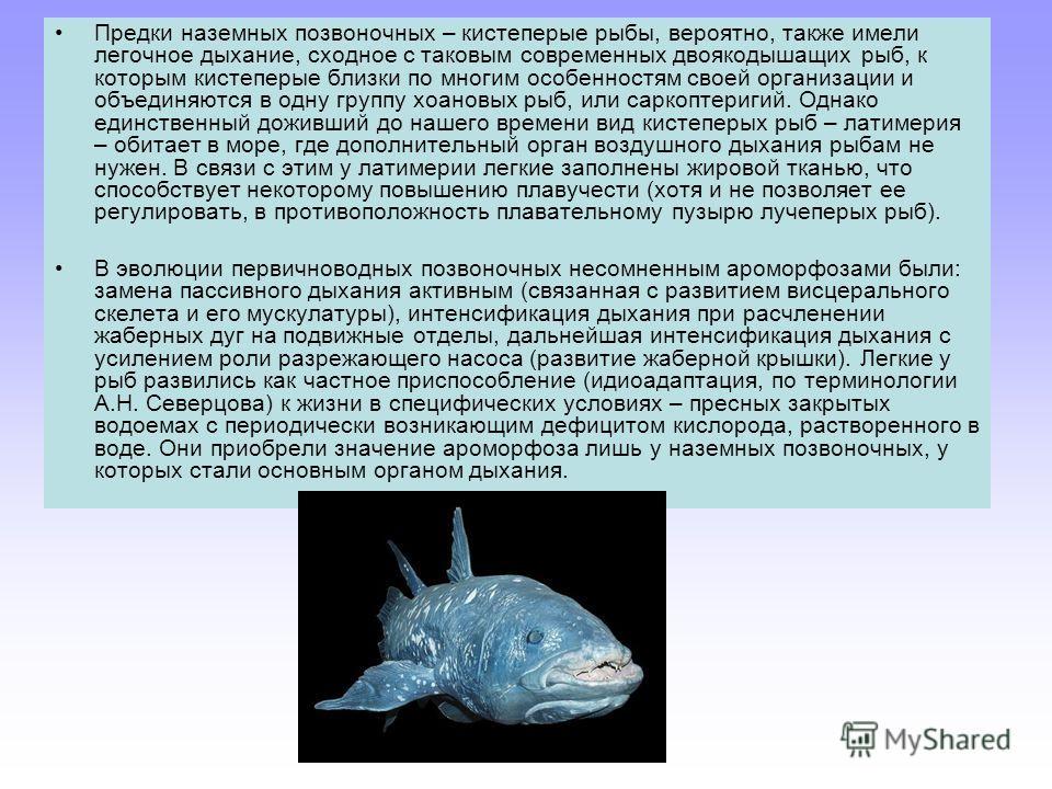 Предки наземных позвоночных – кистеперые рыбы, вероятно, также имели легочное дыхание, сходное с таковым современных двоякодышащих рыб, к которым кистеперые близки по многим особенностям своей организации и объединяются в одну группу хоановых рыб, ил