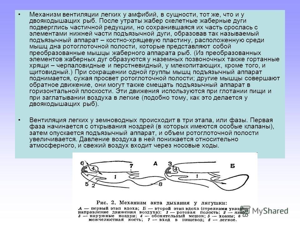 Механизм вентиляции легких у амфибий, в сущности, тот же, что и у двоякодышащих рыб. После утраты жабер скелетные жаберные дуги подверглись частичной редукции, но сохранившаяся их часть срослась с элементами нижней части подъязычной дуги, образовав т