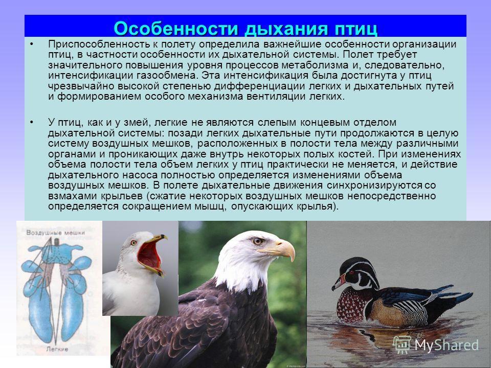 Особенности дыхания птиц Приспособленность к полету определила важнейшие особенности организации птиц, в частности особенности их дыхательной системы. Полет требует значительного повышения уровня процессов метаболизма и, следовательно, интенсификации