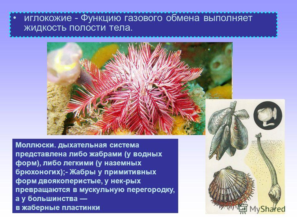 иглокожие - Функцию газового обмена выполняет жидкость полости тела. Моллюски. дыхательная система представлена либо жабрами (у водных форм), либо легкими (у наземных брюхоногих);- Жабры у примитивных форм двоякоперистые, у нек-рых превращаются в мус