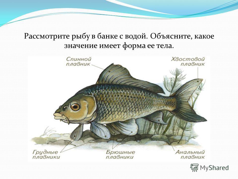 Рассмотрите рыбу в банке с водой. Объясните, какое значение имеет форма ее тела.