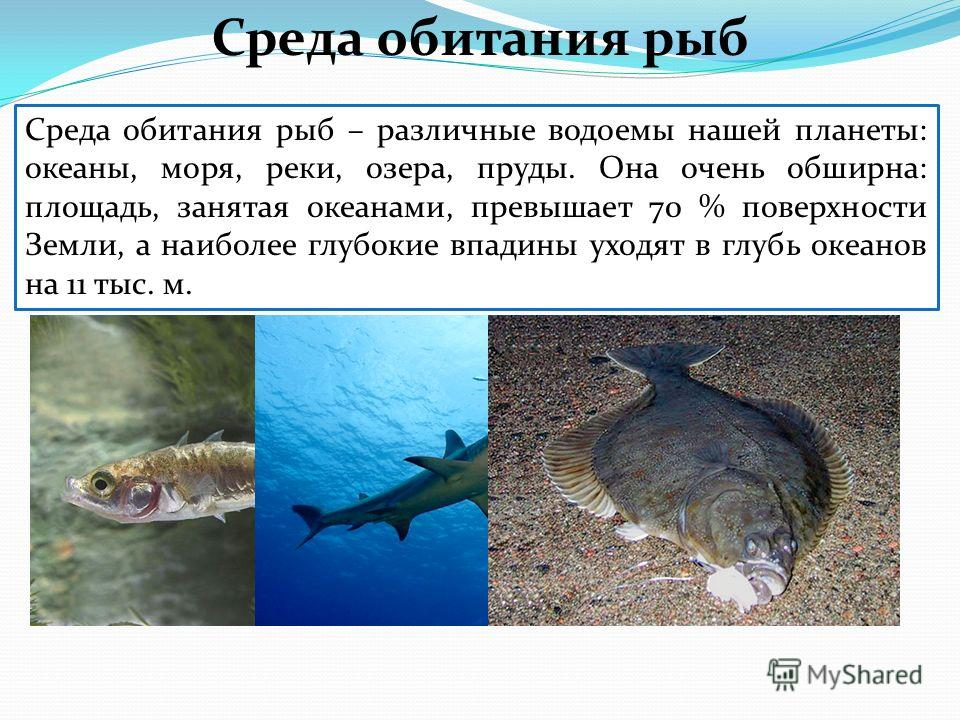 Среда обитания рыб – различные водоемы нашей планеты: океаны, моря, реки, озера, пруды. Она очень обширна: площадь, занятая океанами, превышает 70 % поверхности Земли, а наиболее глубокие впадины уходят в глубь океанов на 11 тыс. м. Среда обитания ры