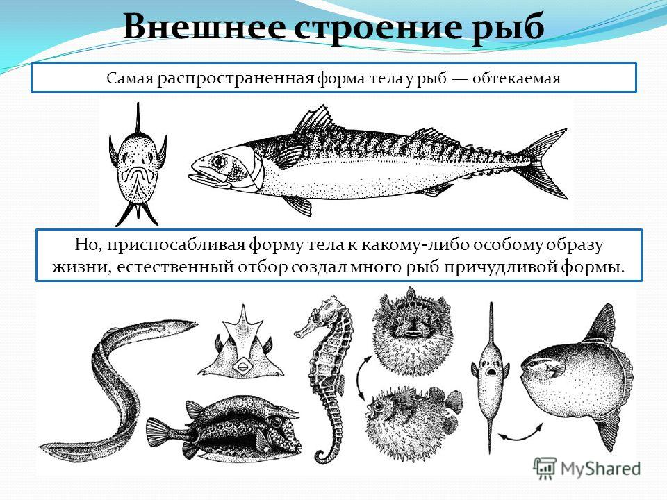 Самая распространенная форма тела у рыб обтекаемая Но, приспосабливая форму тела к какому-либо особому образу жизни, естественный отбор создал много рыб причудливой формы. Внешнее строение рыб