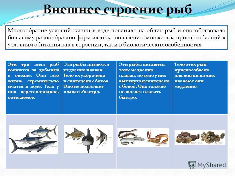Многообразие условий жизни в воде повлияло на облик рыб и способствовало большому разнообразию форм их тела: появлению множества приспособлений к условиям обитания как в строении, так и в биологических особенностях. Эти три вида рыб гоняются за добыч