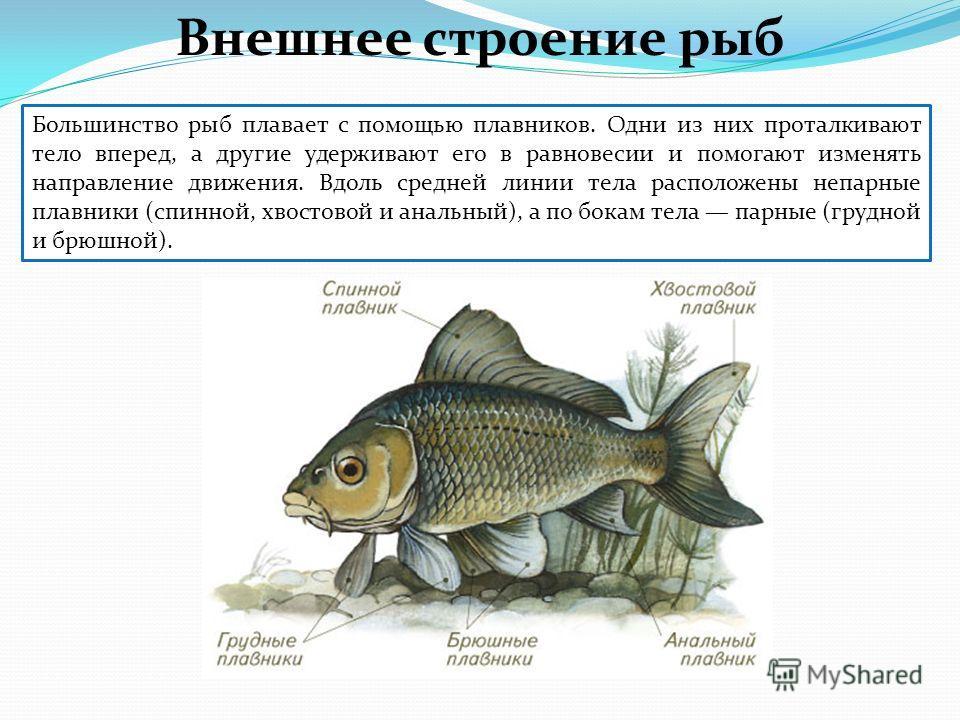 Большинство рыб плавает с помощью плавников. Одни из них проталкивают тело вперед, а другие удерживают его в равновесии и помогают изменять направление движения. Вдоль средней линии тела расположены непарные плавники (спинной, хвостовой и анальный),