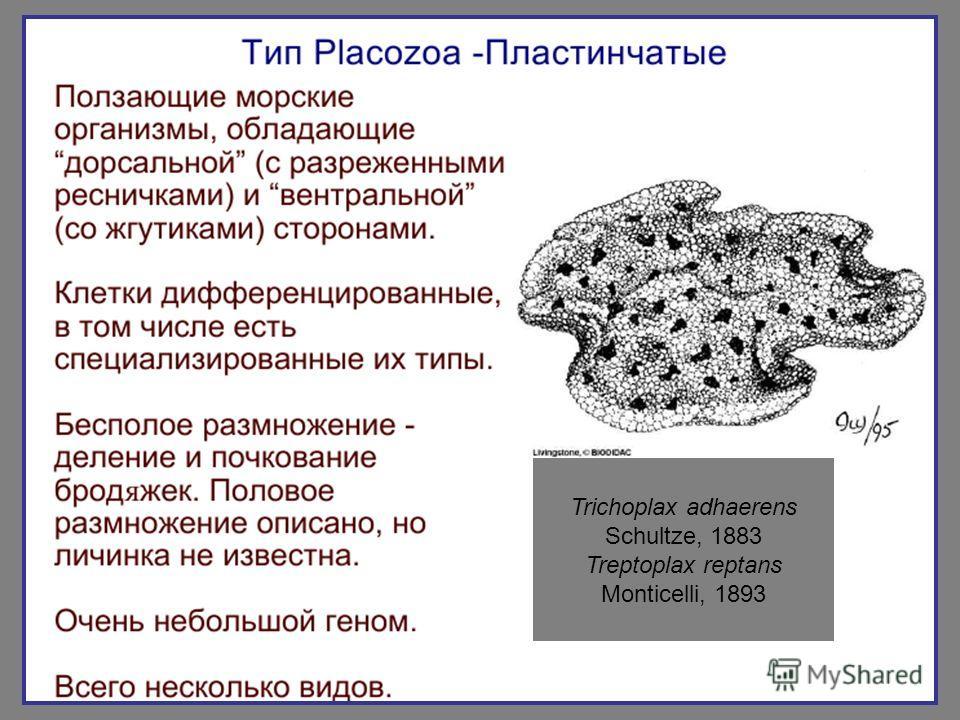 Trichoplax adhaerens Schultze, 1883 Treptoplax reptans Monticelli, 1893