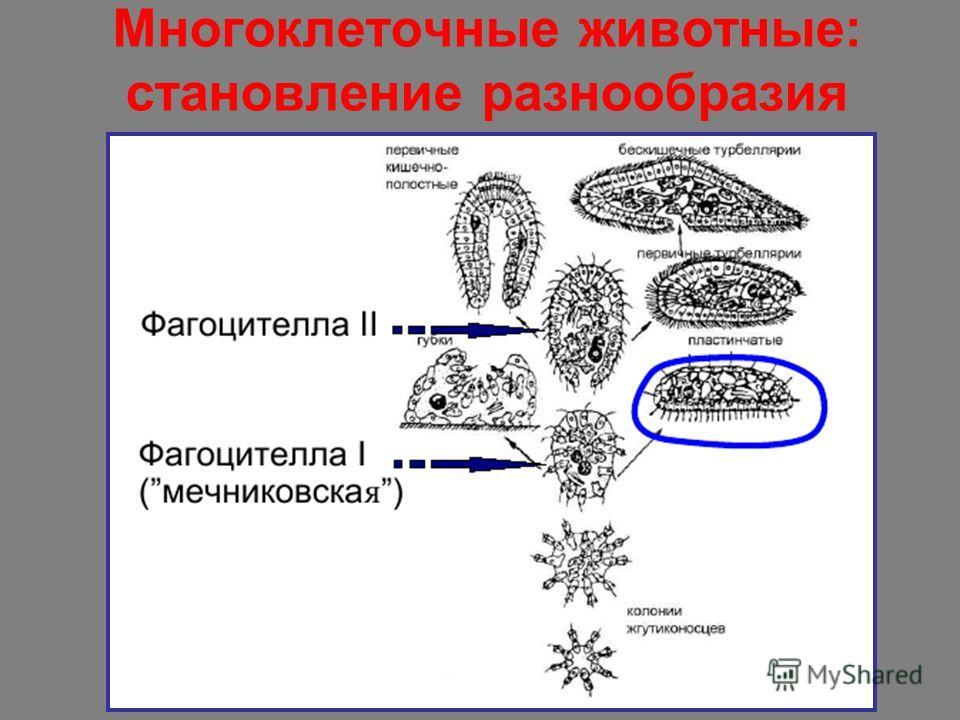 Многоклеточные животные: становление разнообразия