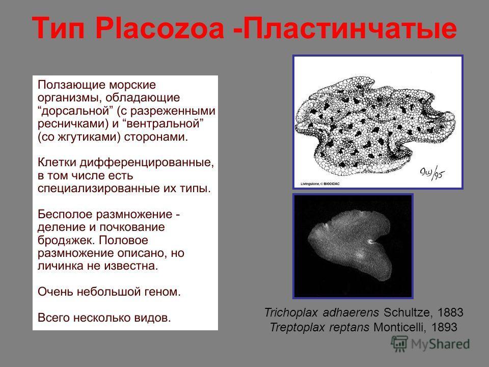 Тип Placozoa -Пластинчатые Trichoplax adhaerens Schultze, 1883 Treptoplax reptans Monticelli, 1893
