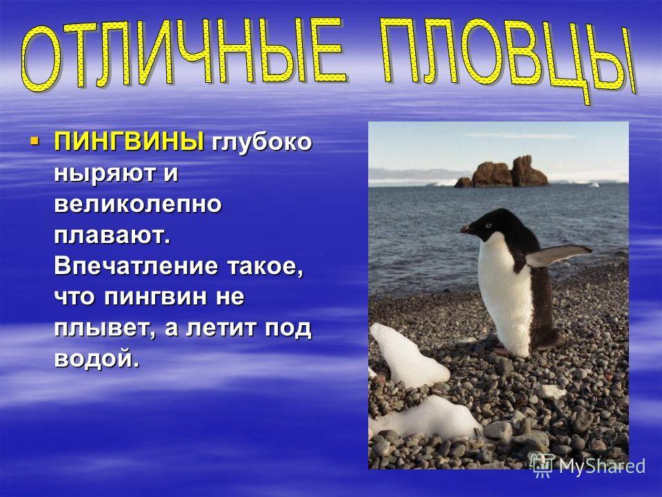 ПИНГВИНЫ глубоко ныряют и великолепно плавают. Впечатление такое, что пингвин не плывет, а летит под водой. ПИНГВИНЫ глубоко ныряют и великолепно плавают. Впечатление такое, что пингвин не плывет, а летит под водой.