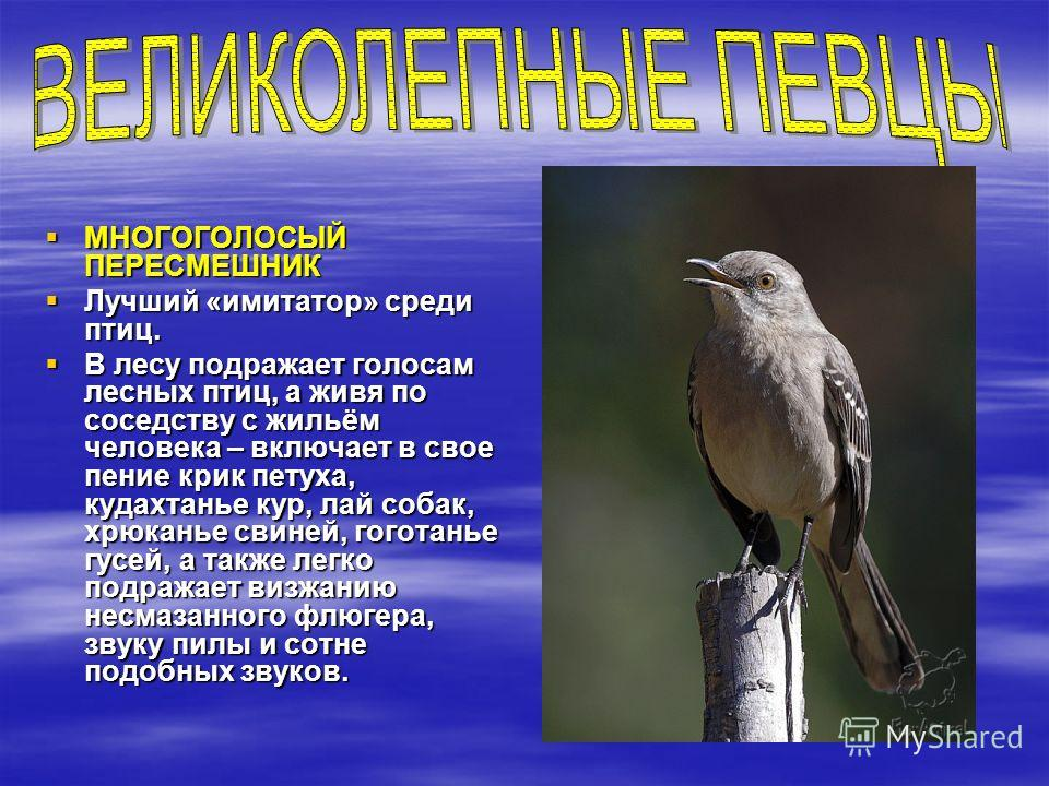 МНОГОГОЛОСЫЙ ПЕРЕСМЕШНИК МНОГОГОЛОСЫЙ ПЕРЕСМЕШНИК Лучший «имитатор» среди птиц. Лучший «имитатор» среди птиц. В лесу подражает голосам лесных птиц, а живя по соседству с жильём человека – включает в свое пение крик петуха, кудахтанье кур, лай собак,