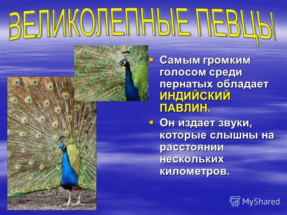 Самым громким голосом среди пернатых обладает ИНДИЙСКИЙ ПАВЛИН. Самым громким голосом среди пернатых обладает ИНДИЙСКИЙ ПАВЛИН. Он издает звуки, которые слышны на расстоянии нескольких километров. Он издает звуки, которые слышны на расстоянии несколь
