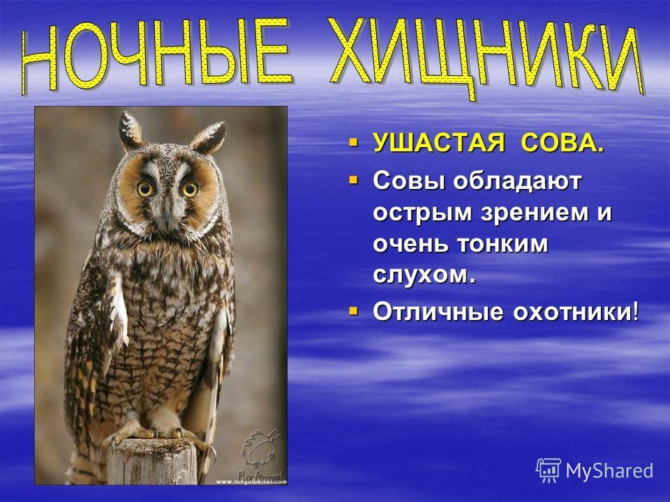 УШАСТАЯ СОВА. УШАСТАЯ СОВА. Совы обладают острым зрением и очень тонким слухом. Совы обладают острым зрением и очень тонким слухом. Отличные охотники! Отличные охотники!