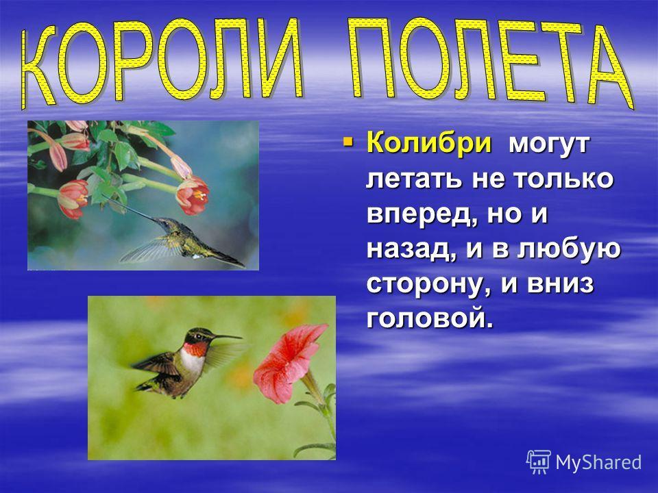 Колибри могут летать не только вперед, но и назад, и в любую сторону, и вниз головой. Колибри могут летать не только вперед, но и назад, и в любую сторону, и вниз головой.