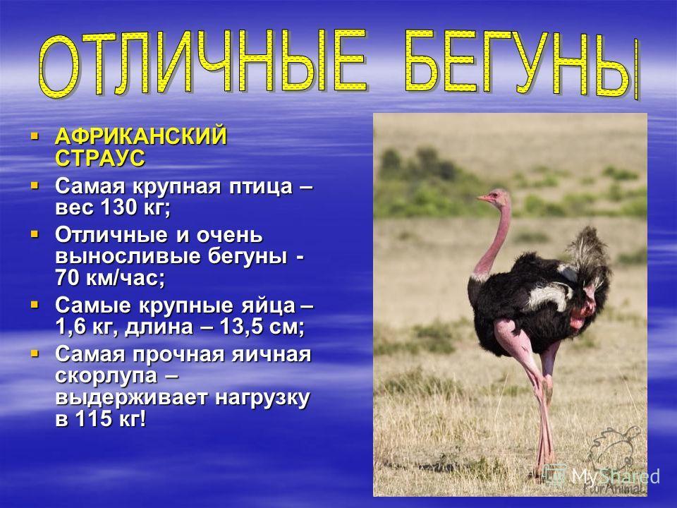АФРИКАНСКИЙ СТРАУС АФРИКАНСКИЙ СТРАУС Самая крупная птица – вес 130 кг; Самая крупная птица – вес 130 кг; Отличные и очень выносливые бегуны - 70 км/час; Отличные и очень выносливые бегуны - 70 км/час; Самые крупные яйца – 1,6 кг, длина – 13,5 см; Са