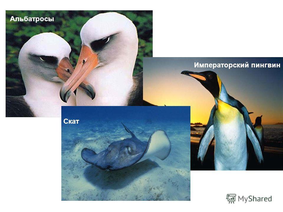 Альбатросы Скат Императорский пингвин