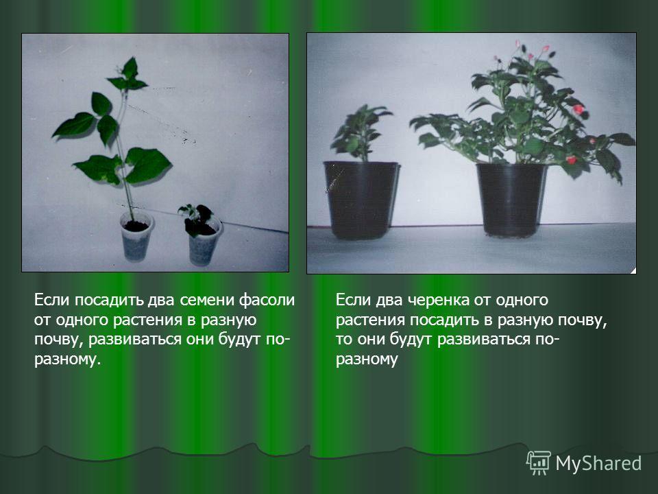 Если посадить два семени фасоли от одного растения в разную почву, развиваться они будут по- разному. Если два черенка от одного растения посадить в разную почву, то они будут развиваться по- разному
