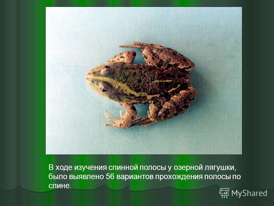 В ходе изучения спинной полосы у озерной лягушки, было выявлено 56 вариантов прохождения полосы по спине.