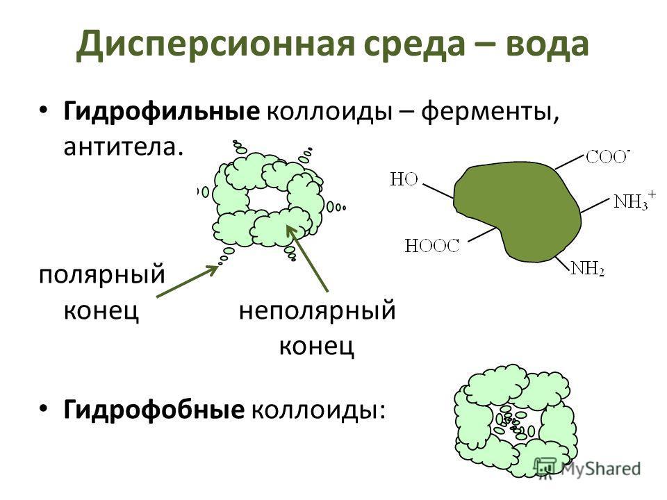 Дисперсионная среда – вода Гидрофильные коллоиды – ферменты, антитела. полярный конецнеполярный конец Гидрофобные коллоиды: