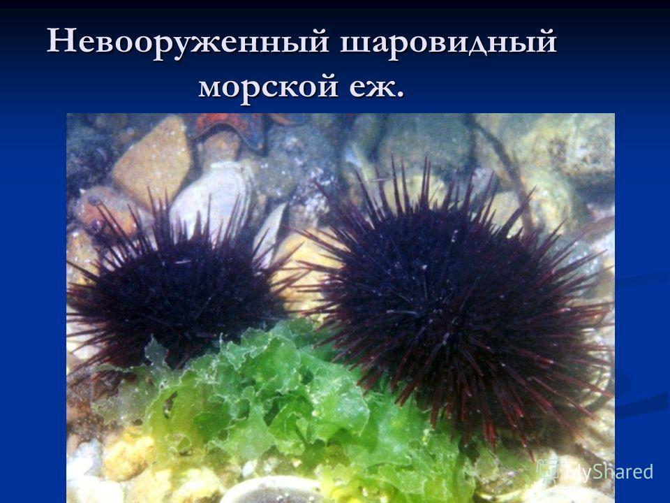 Невооруженный шаровидный морской еж.
