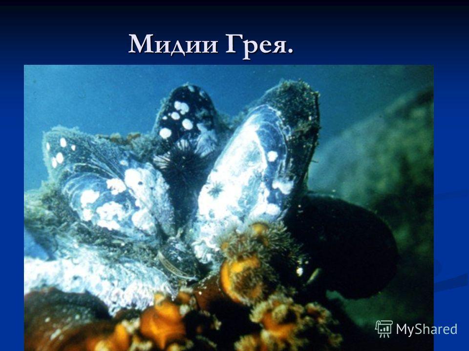 Мидии Грея.