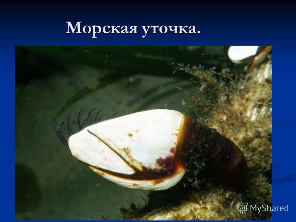Морская уточка.
