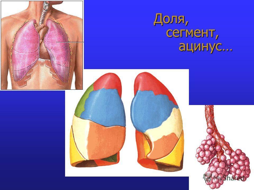 Доля, сегмент, ацинус…