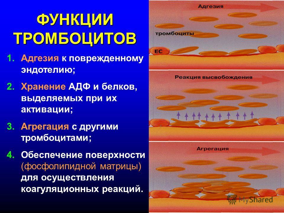 ФУНКЦИИ ТРОМБОЦИТОВ 1.Адгезия к поврежденному эндотелию; 2.Хранение АДФ и белков, выделяемых при их активации; 3.Агрегация с другими тромбоцитами; 4.Обеспечение поверхности (фосфолипидной матрицы) для осуществления коагуляционных реакций.
