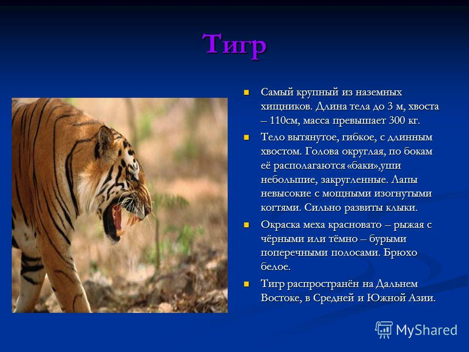 Тигр Самый крупный из наземных хищников. Длина тела до 3 м, хвоста – 110см, масса превышает 300 кг. Тело вытянутое, гибкое, с длинным хвостом. Голова округлая, по бокам её располагаются «баки»,уши небольшие, закругленные. Лапы невысокие с мощными изо