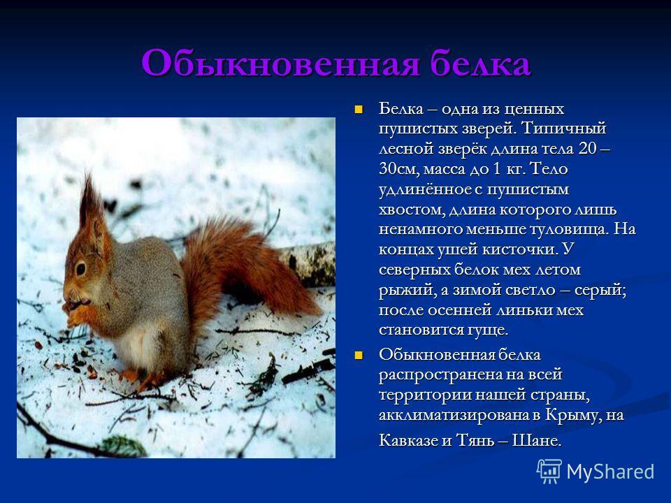 Обыкновенная белка Белка – одна из ценных пушистых зверей. Типичный лесной зверёк длина тела 20 – 30см, масса до 1 кг. Тело удлинённое с пушистым хвостом, длина которого лишь ненамного меньше туловища. На концах ушей кисточки. У северных белок мех ле