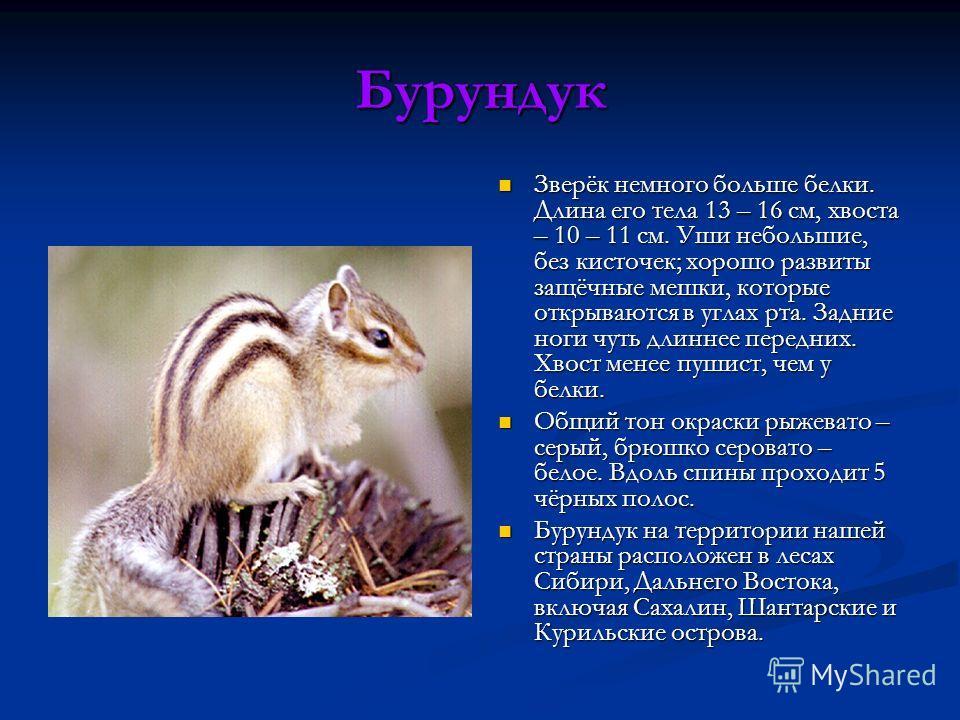Бурундук Зверёк немного больше белки. Длина его тела 13 – 16 см, хвоста – 10 – 11 см. Уши небольшие, без кисточек; хорошо развиты защёчные мешки, которые открываются в углах рта. Задние ноги чуть длиннее передних. Хвост менее пушист, чем у белки. Общ
