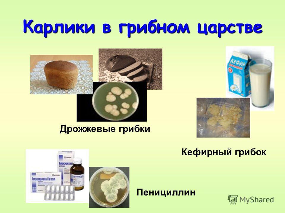 Карлики в грибном царстве Дрожжевые грибки Пенициллин Кефирный грибок