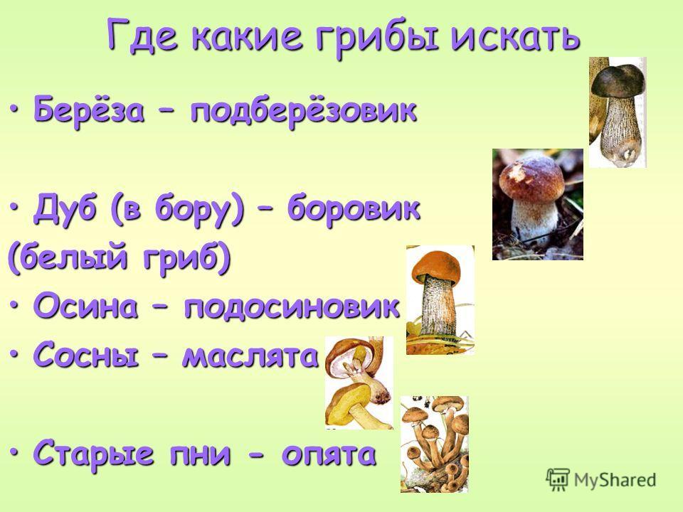 Где какие грибы искать Берёза – подберёзовикБерёза – подберёзовик Дуб (в бору) – боровикДуб (в бору) – боровик (белый гриб) Осина – подосиновикОсина – подосиновик Сосны – маслятаСосны – маслята Старые пни - опятаСтарые пни - опята