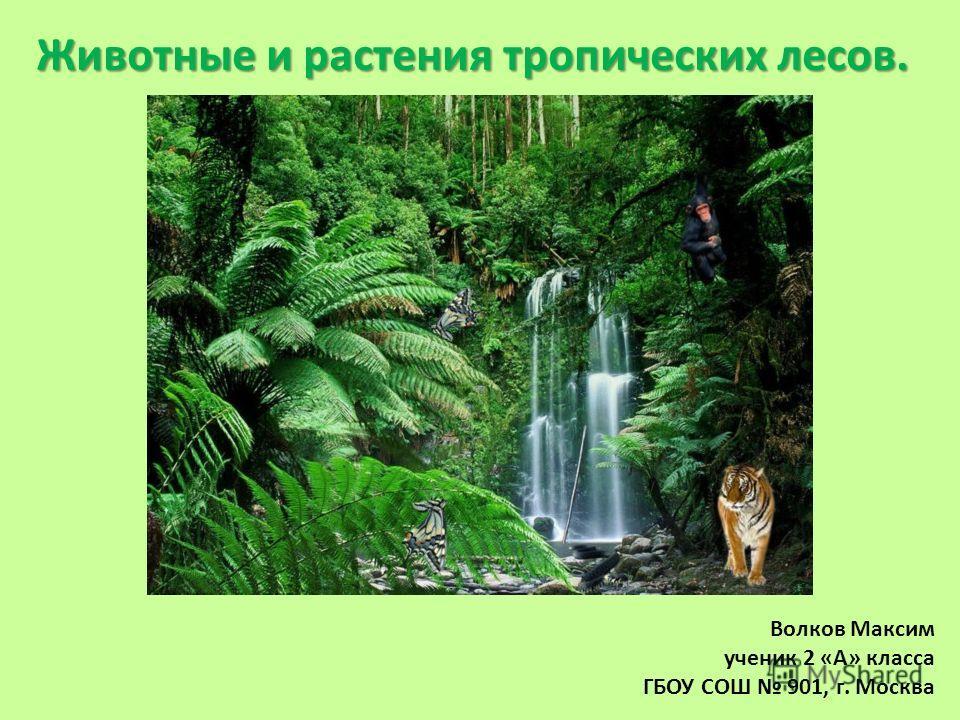 Животные и растения тропических лесов. Волков Максим ученик 2 «А» класса ГБОУ СОШ 901, г. Москва