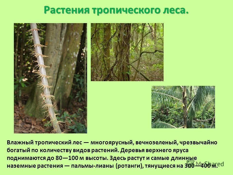 Растения тропического леса. Влажный тропический лес многоярусный, вечнозеленый, чрезвычайно богатый по количеству видов растений. Деревья верхнего яруса поднимаются до 80100 м высоты. Здесь растут и самые длинные наземные растения пальмы-лианы (ротан