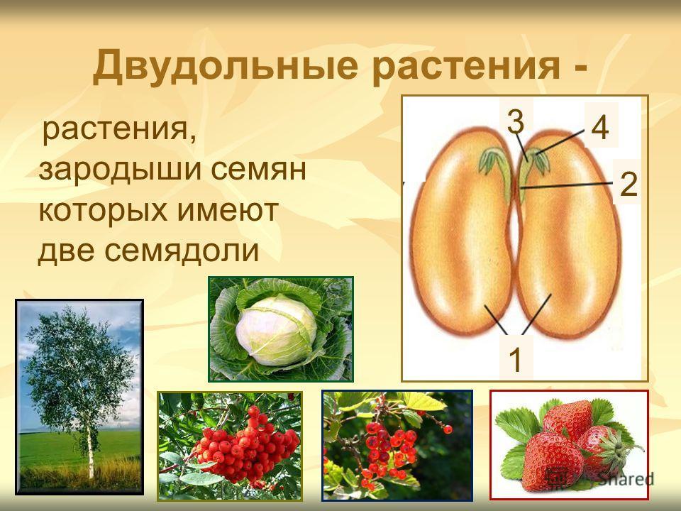 Двудольные растения - растения, зародыши семян которых имеют две семядоли 1 4 3 2