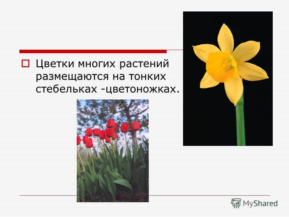 Цветки многих растений размещаются на тонких стебельках -цветоножках.