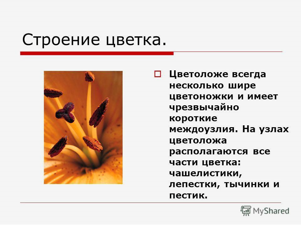 Строение цветка. Цветоложе всегда несколько шире цветоножки и имеет чрезвычайно короткие междоузлия. На узлах цветоложа располагаются все части цветка: чашелистики, лепестки, тычинки и пестик.