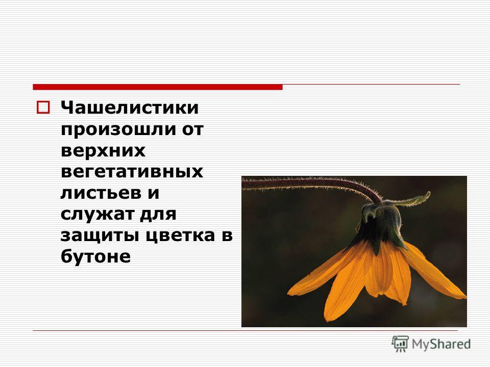 Чашелистики произошли от верхних вегетативных листьев и служат для защиты цветка в бутоне