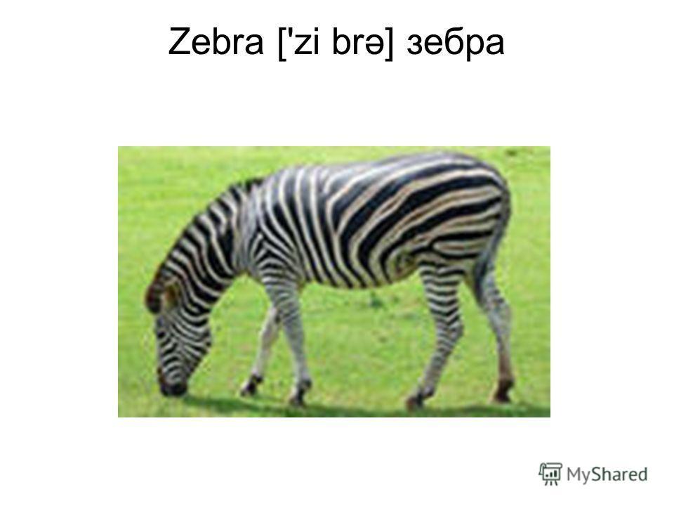 Zebra ['zi brə] зебра