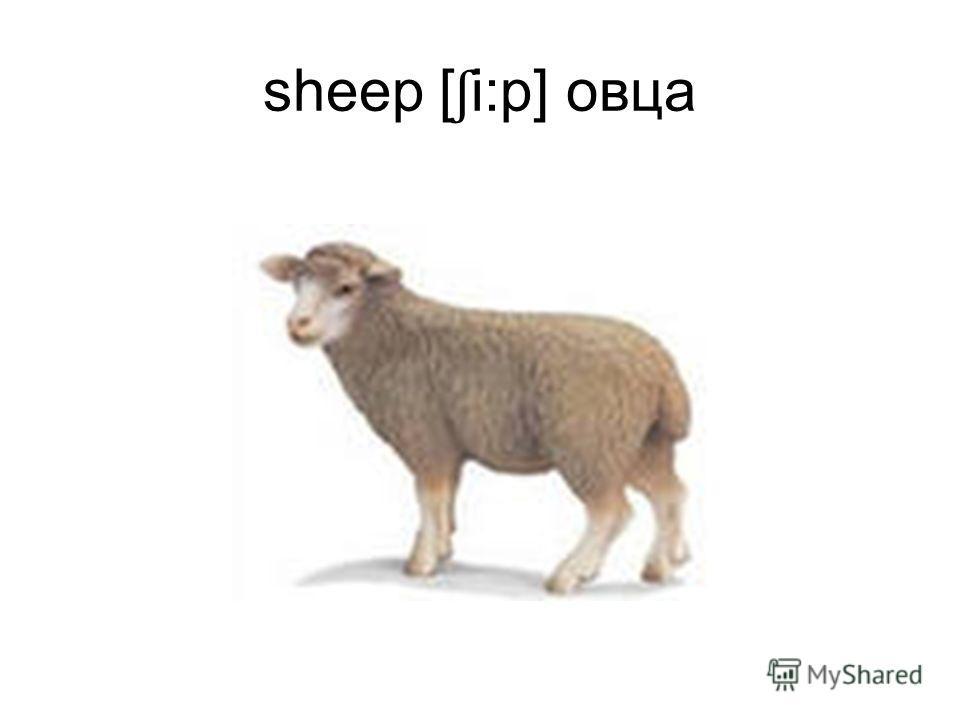 sheep [ ʃ i:p] овца