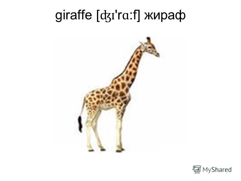giraffe [ ʤɪ 'r ɑ :f] жираф