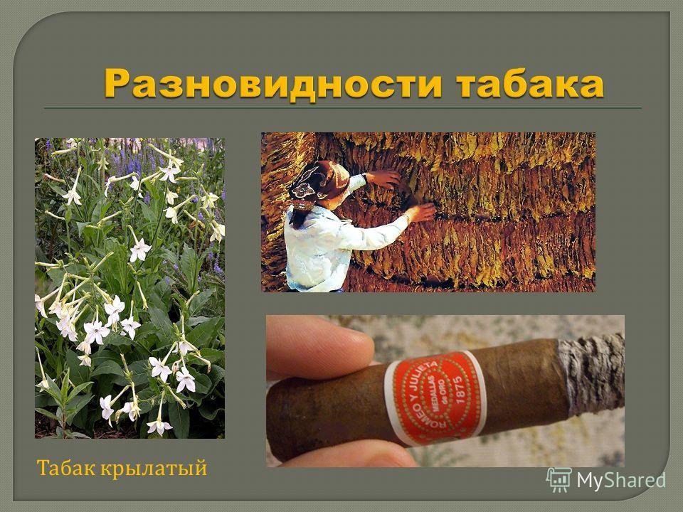 Табак крылатый