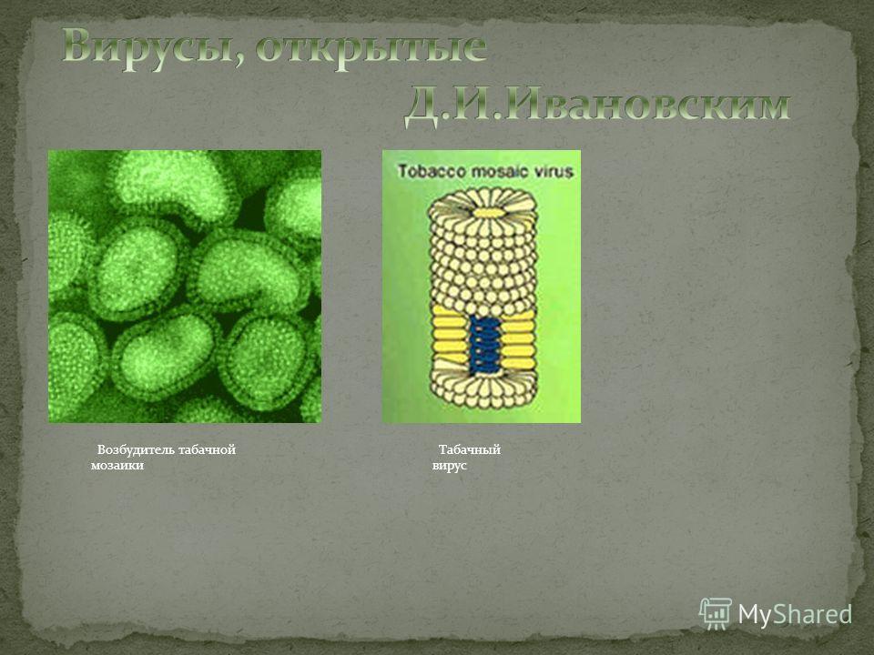 Возбудитель табачной мозаики Табачный вирус