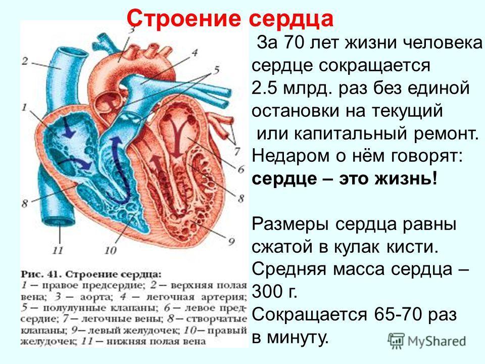 Жизни человека сердце сокращается 2